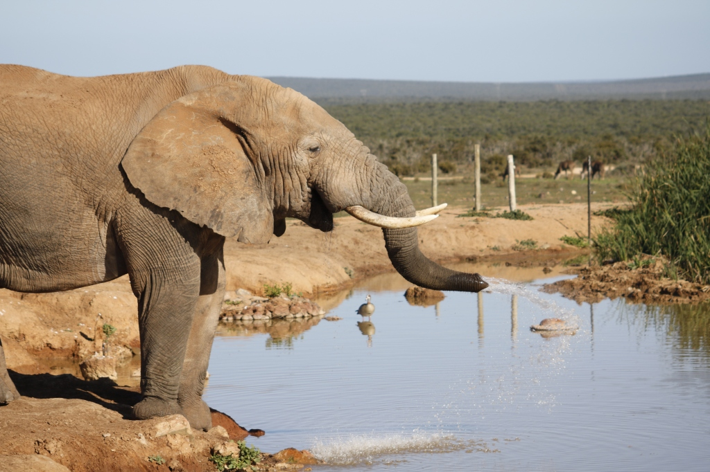 African elephant spraying water from its trunk.